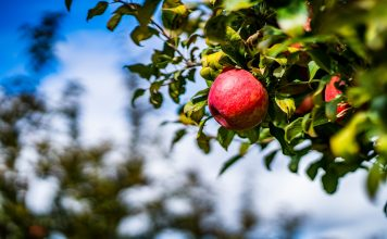 Apple Orchards & Apple Picking Around Chattanooga