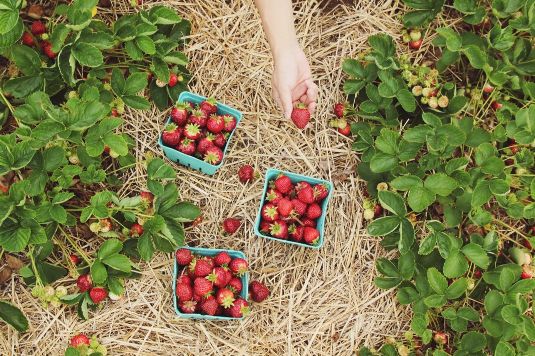 Chattanooga Area Pick-Your-Own Farms