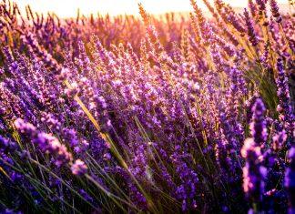 Chattanooga Area Lavender Farms