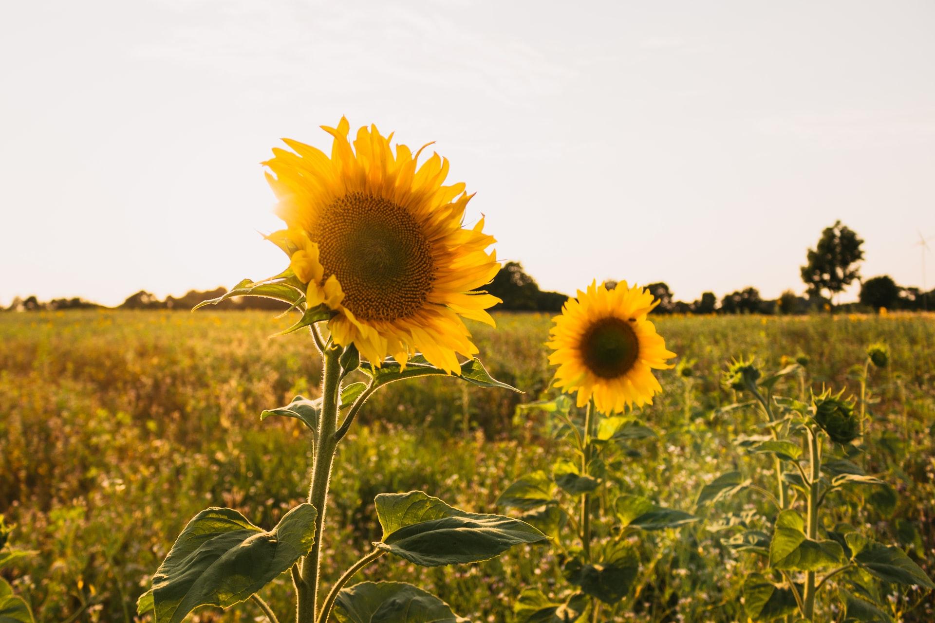 Chattanooga Area Sunflower Fields (2)