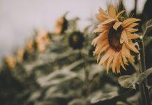 Chattanooga Area Sunflower Fields
